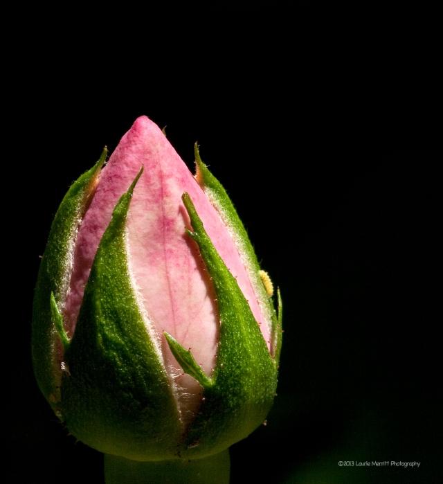 rose-6755_180r