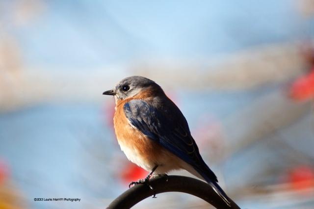 bluebird-2707_900