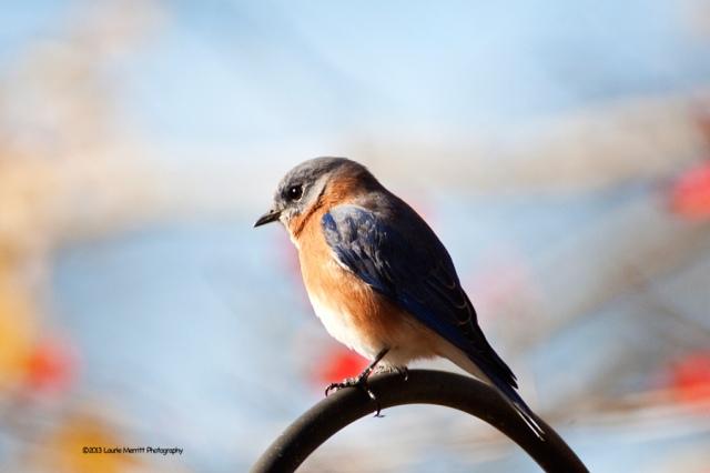 bluebird-2713_900