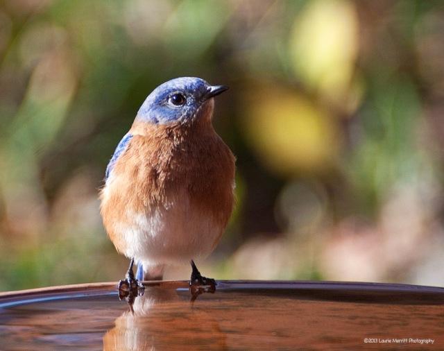 bluebird-2716_900