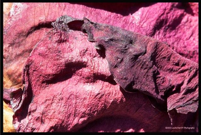 pinkcanvas