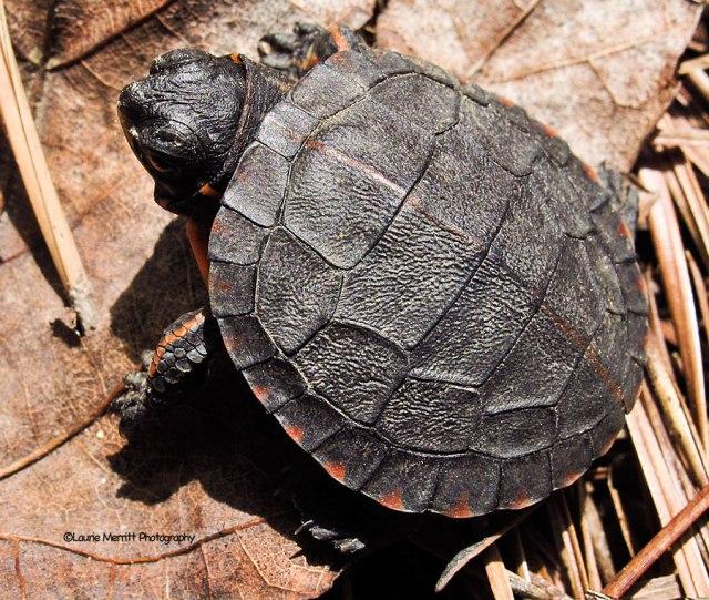 turtle-3451_900