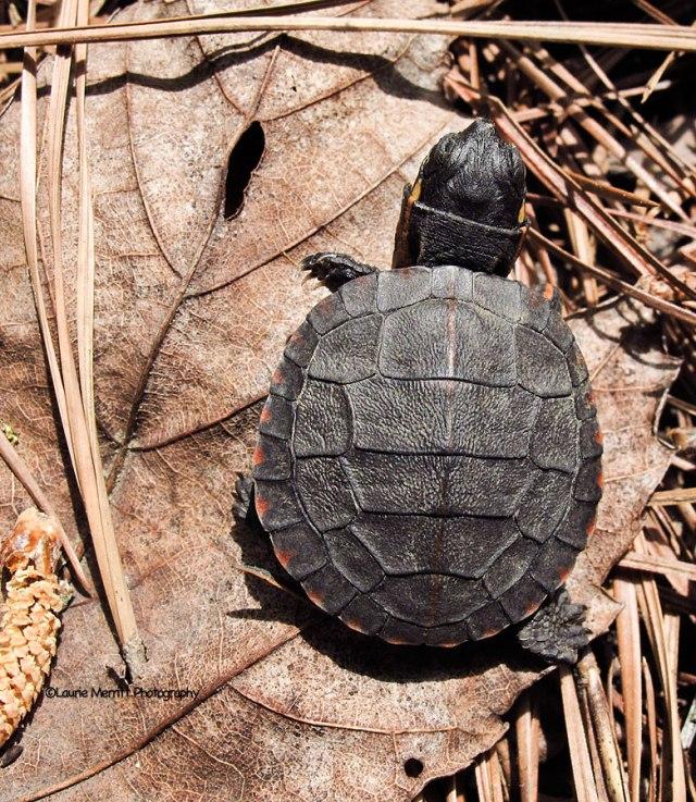 turtle-3452_900
